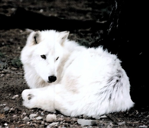 White Wolf - wolves Photo