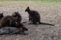 Wonderful Wallabies