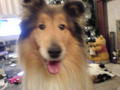 abe rough collie