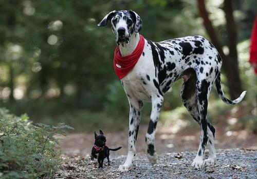 big and tiny dog
