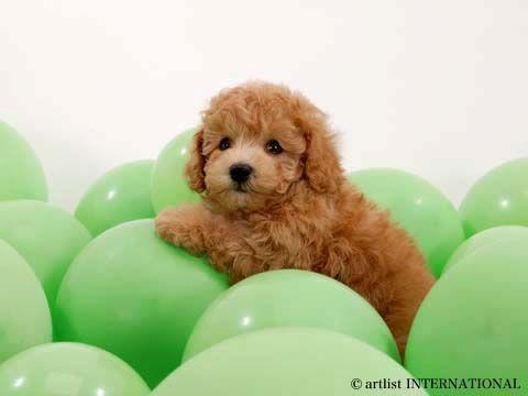 cute baloon dog