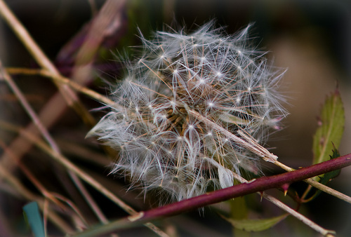 Photography wallpaper titled dandilion