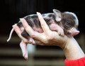 mini  pigs  - pigs photo