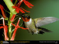 ruby throated hummingbird  - hummingbirds wallpaper