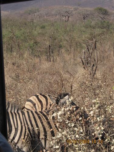 the zebra's on my safari