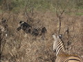 the zebra's on my safari  - zebras photo