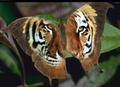 tigerfly