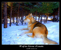 Nevada Wolf