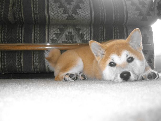 Shiba Inu Images Akina Wallpaper And Background Photos