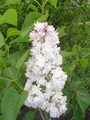 Beauty of Moscow Lilac - gardening photo