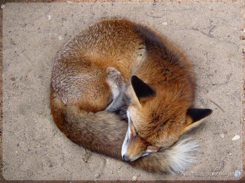 Curled cáo, fox hình nền