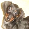 Dachshunds photo with a black and tan coonhound entitled Dachshunds