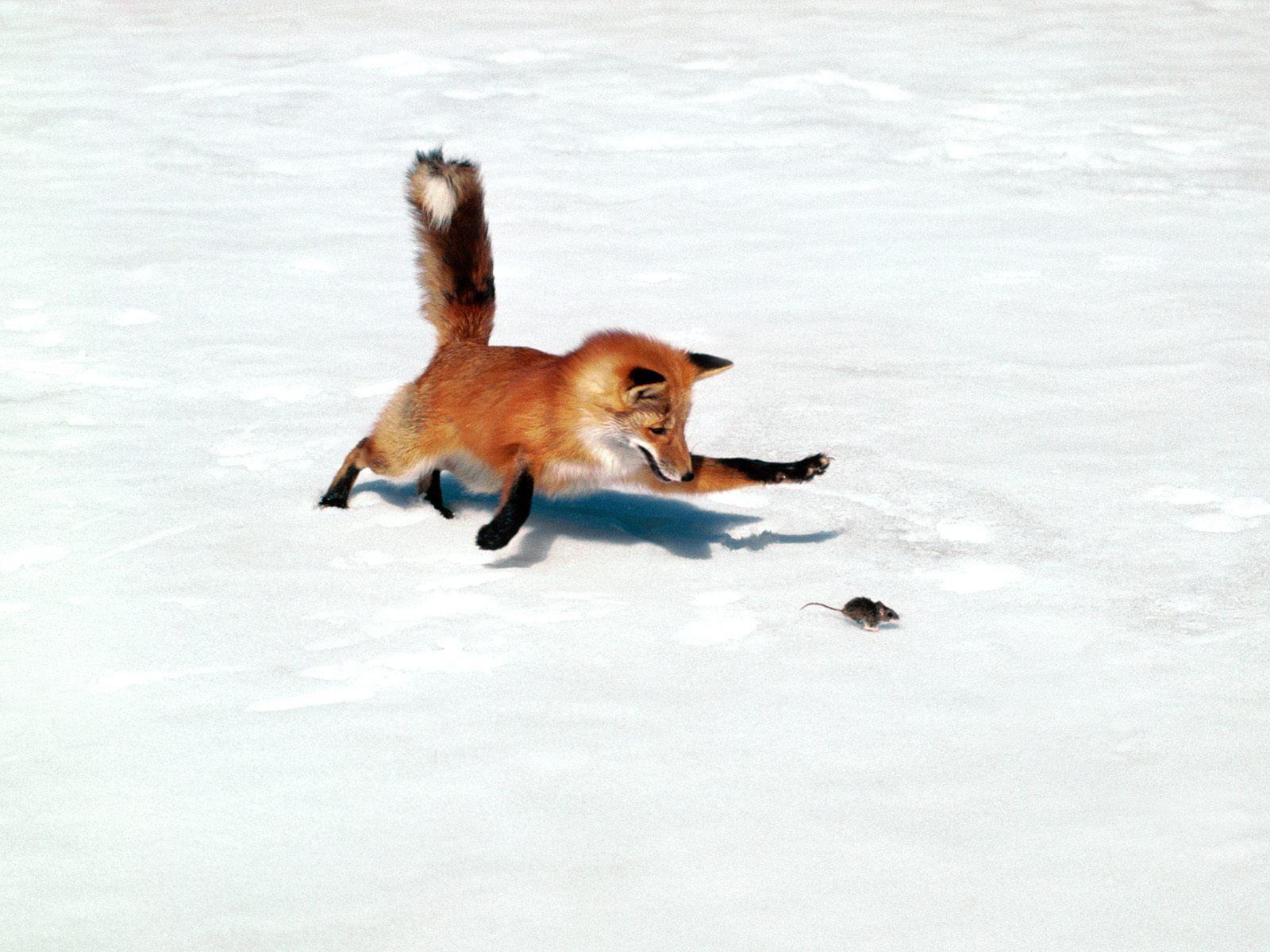 external image Fox-Hunting-Mouse-fox-1391745-1600-1200.jpg