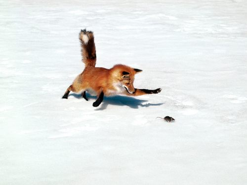 Fox wallpaper entitled Fox Hunting Mouse
