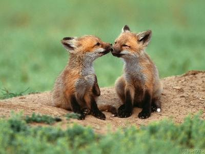 "Fox Kits ""Kissing"" - fox Photo"