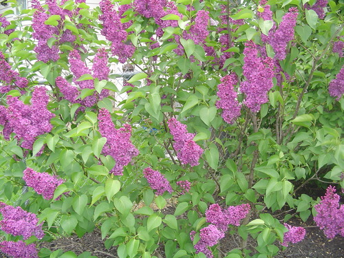 French ungu, lilac