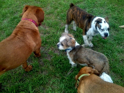My dog Kirby at the dog park