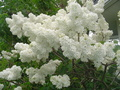 Old Fashioned White Lilacs - gardening photo