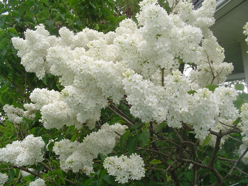 Old Fashioned White Lilacs