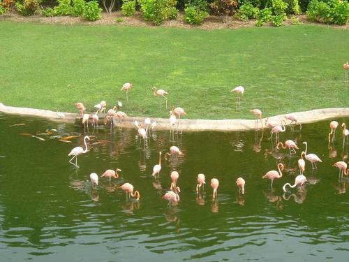 rose flamingos
