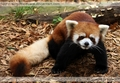 Red Panda - the-animal-kingdom photo