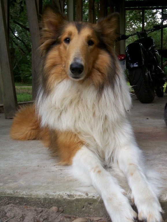 Rough Collies For Sale In Louisiana
