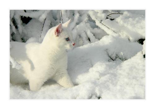 White Snow + White Cat