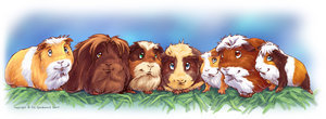 Guinea Pigs wallpaper called bunch of  guinea pigs
