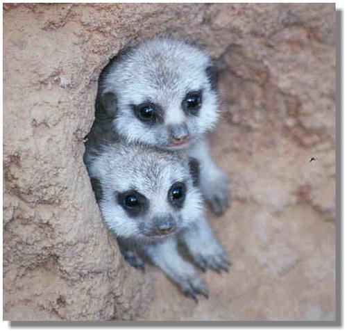 cute little meekat