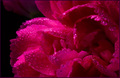pink flower  - photography photo