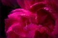 ピンク 花