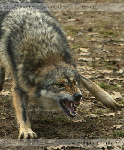 Angry Wolf - wolves Photo