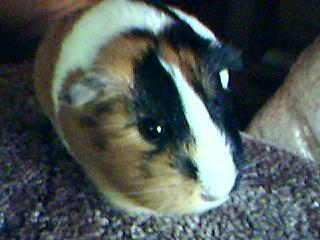 My Cute Guinea Pig - guinea-pigs Photo