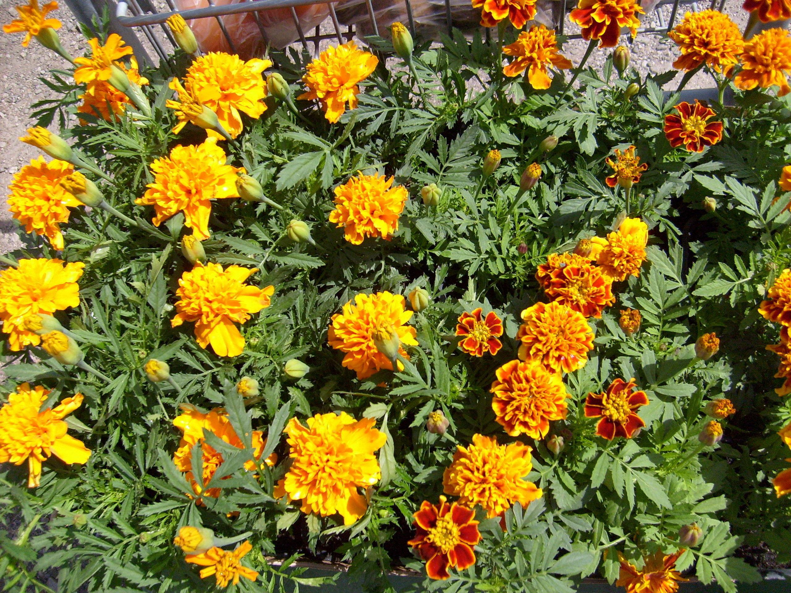 Spring Flowers Gardening Wallpaper 1417289 Fanpop