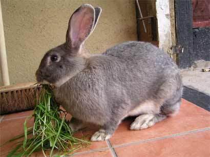 adult bunnie