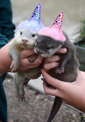 Otters images BIRTHDAY OTTERS wallpaper and background ...