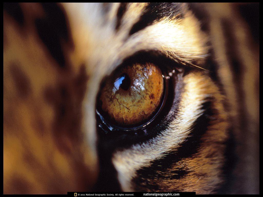 Tiger Wallpaper - Tigers Wallpaper (1598837) - Fanpop