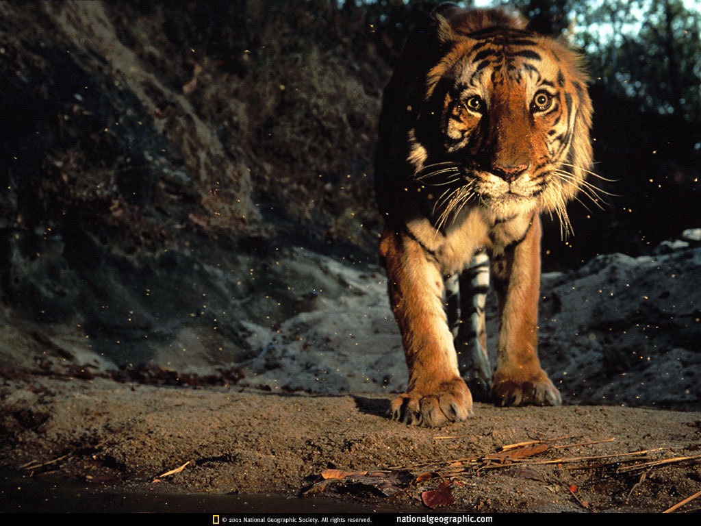 tiger wallpaper tigers wallpaper 1598840 fanpop