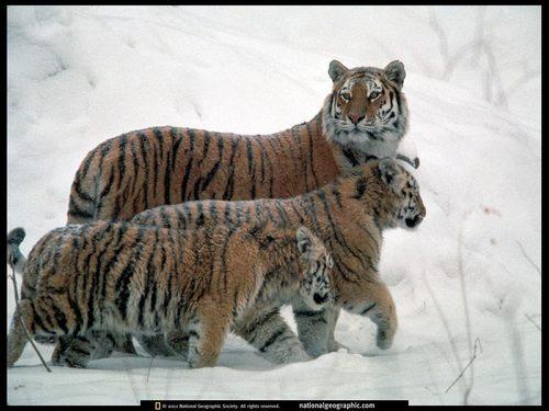 Tiger kertas dinding