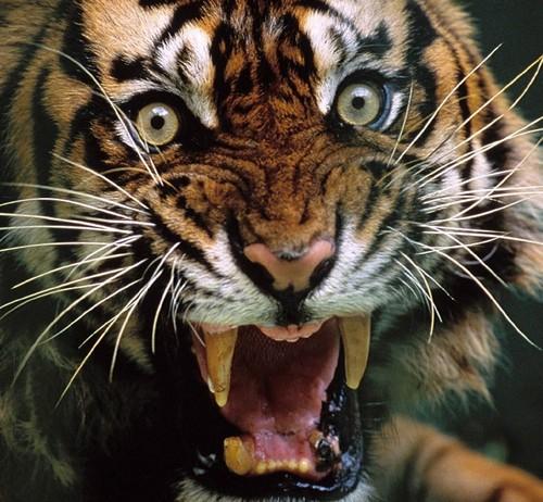 Tiger achtergrond