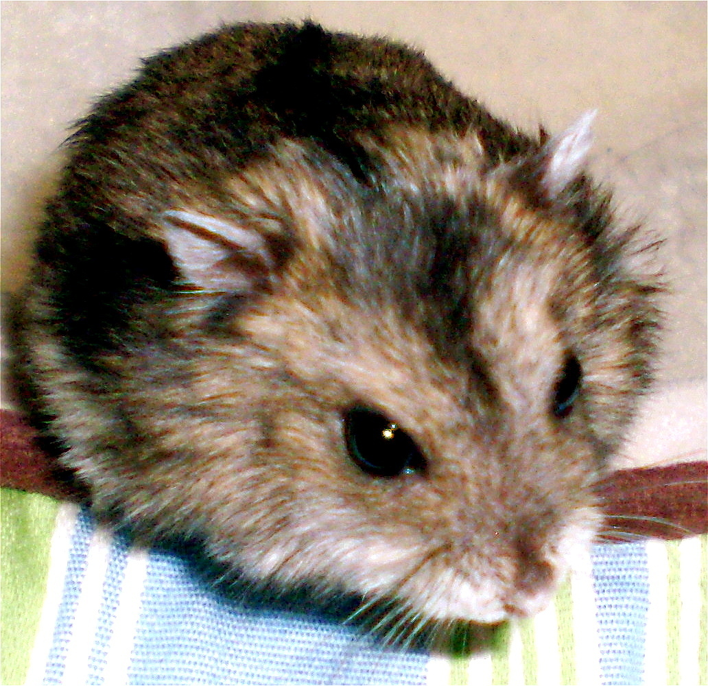 Dwarf criceto, hamster