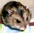 Dwarf 仓鼠