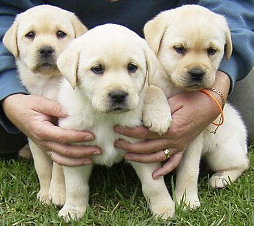 Labrador पिल्लें