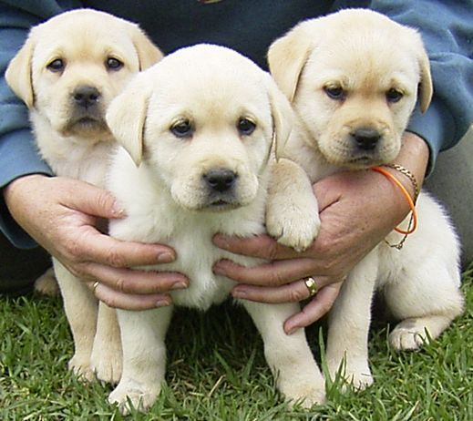 pictures of dogs and puppies. Labrador Puppies