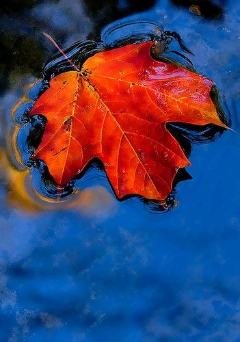 maple with Sky Reflection