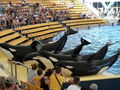 Orcas at Loro Parque