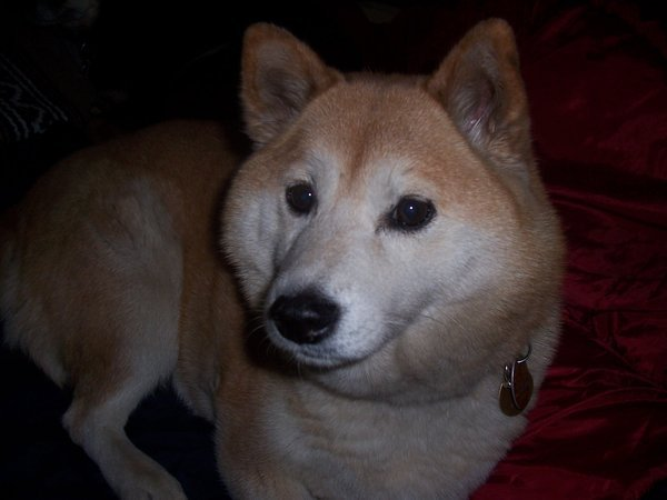 Shiba Inu Images Wallpaper And Background Photos
