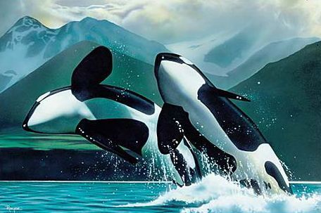 Orca - the killer whale wallpaper probably containing a killer whale entitled orcas...