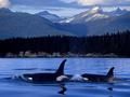orcas & wild