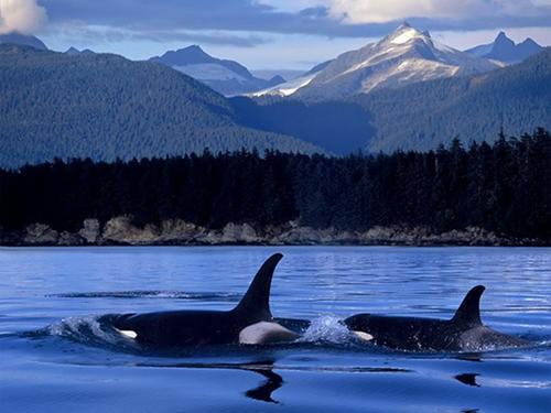 Orca the killer whale images orcas wild wallpaper and background orca the killer whale wallpaper entitled orcas wild altavistaventures Images